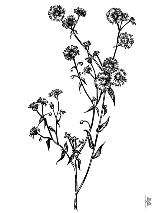 Fleabane Illustration